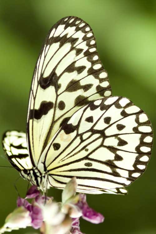 iPhone-4S-Wallpaper-Butterfly