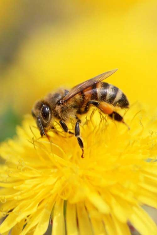 iPhone-4S-Bee-Wallpaper
