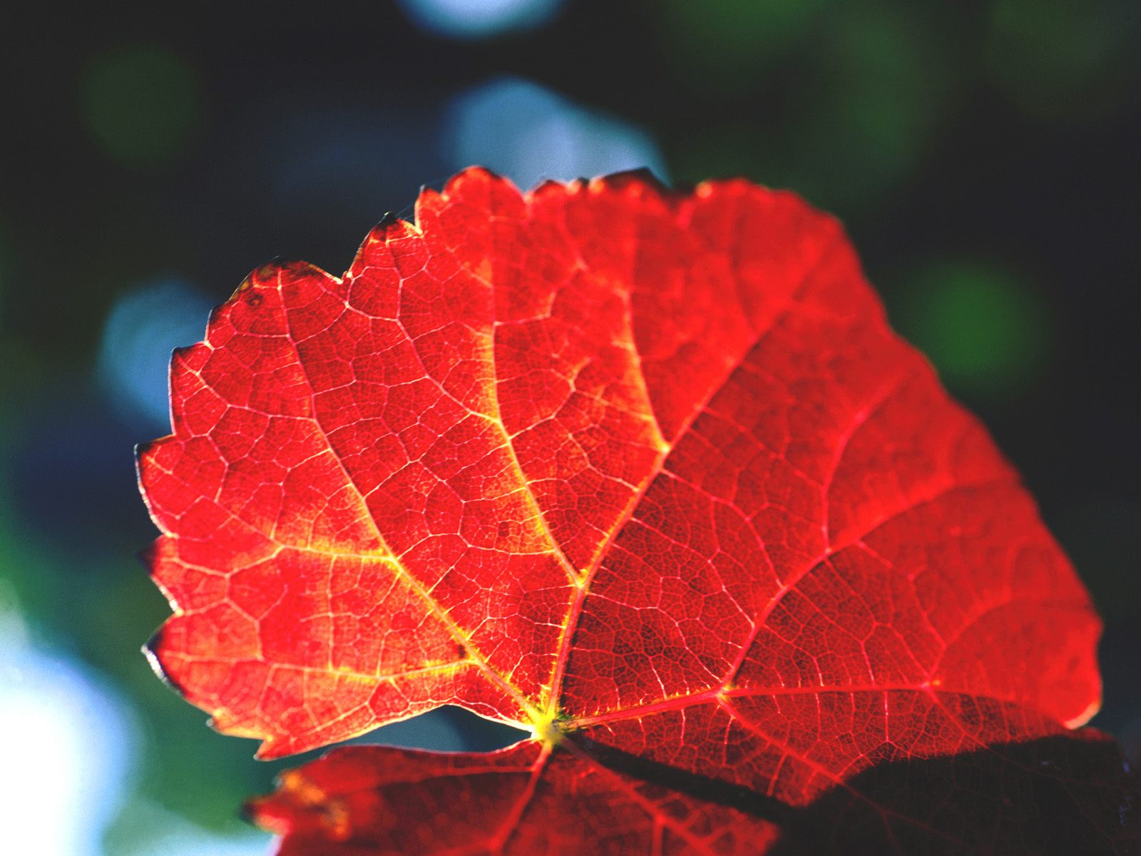 Autumn Leaf in Vineyards