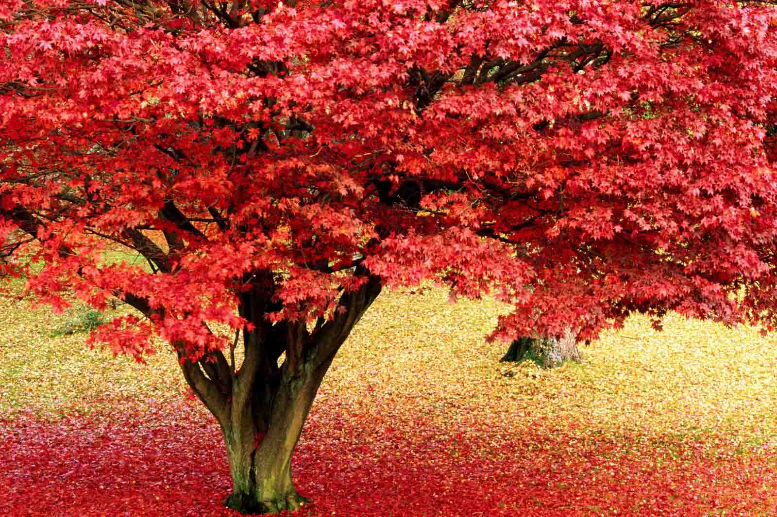 Maple Tree in Autumn. Lake District, Cumbria, England