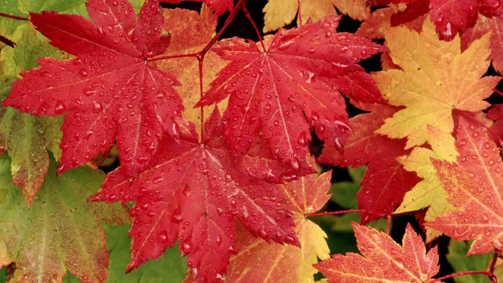 Vine-Maple-Leaves-in-Autumn-wallpaper