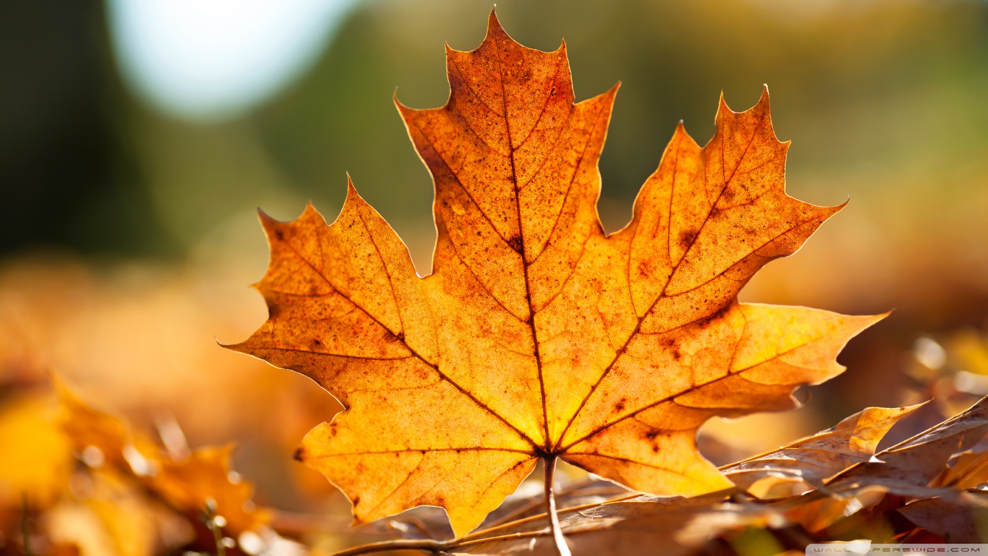 autumn_leaf-wallpaper