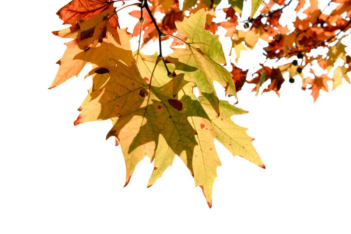 maple-tree-autumn-wallpaper-collection