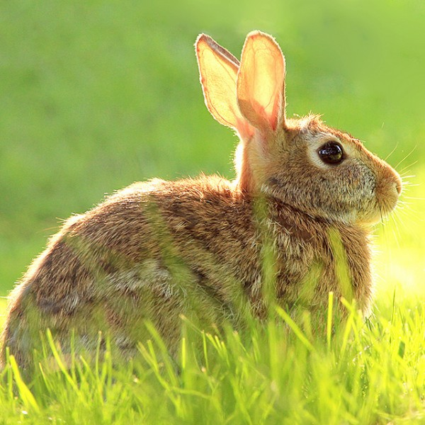 brown bunny rabbit (29)