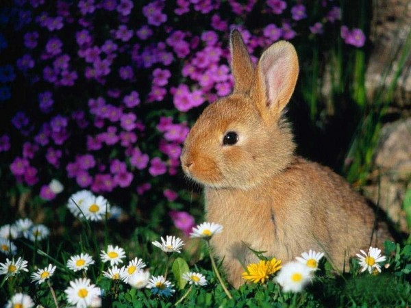 brown bunny rabbit (28)