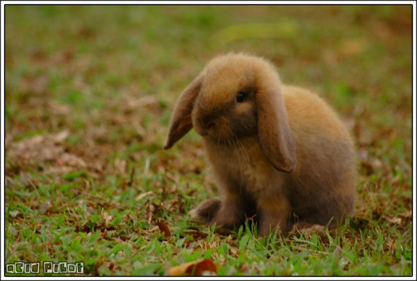 brown bunny rabbit (4)