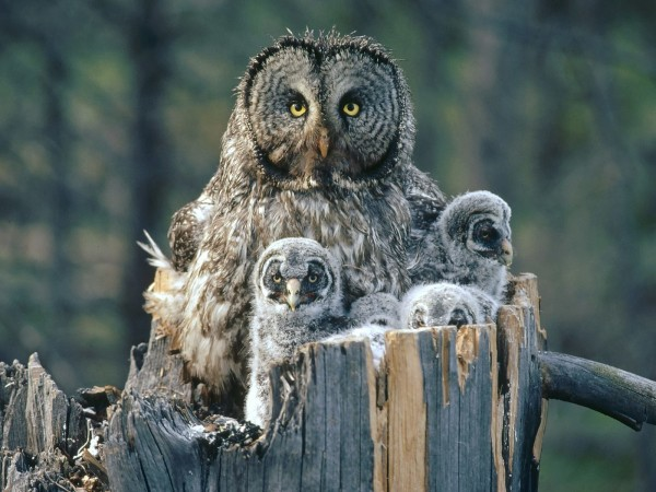 Baby owl desktop background